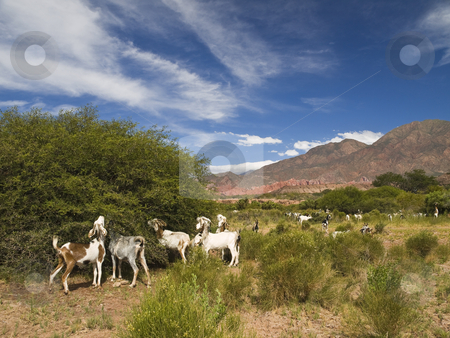 It gets my goats stock photo, A large group of goat eating from the nature. by Ignacio Gonzalez Prado