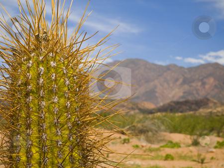 Long spine cactus stock photo, A green cactus over an arid landscape in a dry summer. by Ignacio Gonzalez Prado