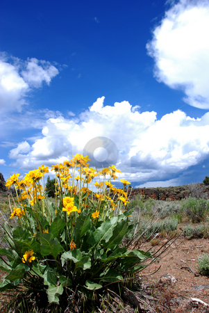 Sunflowers in the Owyhee Uplands stock photo, USA, Idaho, Owyhee County, Owyhee Uplands Scenic Bypass, Sunflowers near Mud Flat Road by David Ryan