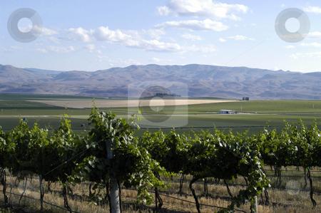Vineyard stock photo, USA, Idaho, Canyon County Vineyard by David Ryan