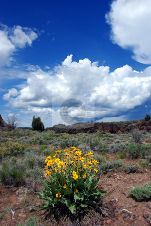 Sunflowersj in the Owyhee Uplands stock photo, USA, Idaho, Owyhee County, Owyhee Uplands Scenic Bypass, Sunflowers near Mud Flat Road by David Ryan