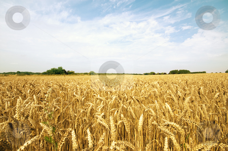 Summer agriculture hay field stock photo, Summer agriculture hay field in the middle of the day with some clouds by Karin Claus
