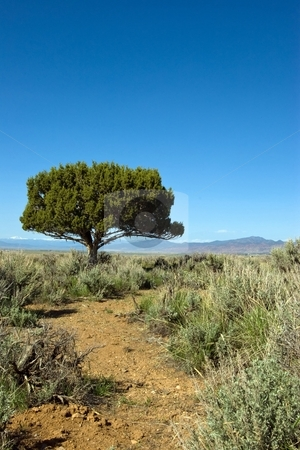 Utah Juniper stock photo, Lone juniper tree against a blue sky in a sagebrush meadow. by Andrew Orlemann