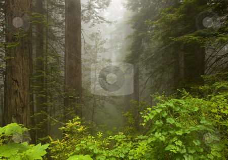 Redwood Morning Mist stock photo, Giant Redwood Trees emerging from  a morning fog along the Northern California Coast by Mike Dawson