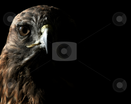 Red-tailed Hawk stock photo, Close-up portrait on a Red-tailed Hawk on a sunny day by Alain Turgeon