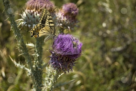Madama Butterfly stock photo, Image shows a big butterfly on a thistle flower. by Antonino Sicali