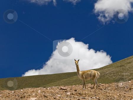 Wild guanaco stock photo, A curious lama in a dry landscape. by Ignacio Gonzalez Prado