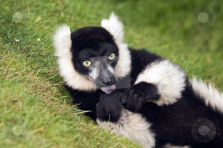 Black and White Ruffed Lemur stock photo, Close up of Black and White Ruffed Lemur(Varecia varigata varigata) by Stephen Meese