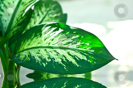 Palm in water stock photo, Dieffenbachia green plant on day white background by Dmitry Rostovtsev