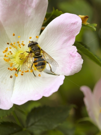 Hoverfly on wild dog rose stock photo, A hoverfly on a wild dog rose in summer by Mike Smith
