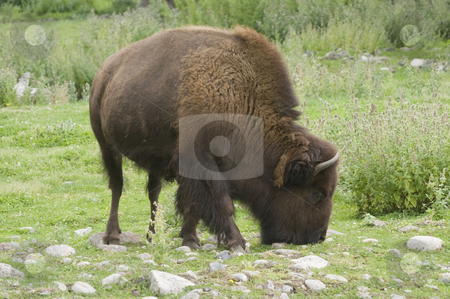 Bison stock photo, Wild Bison (bison bison) in Banff National Park Canada by Stephen Meese
