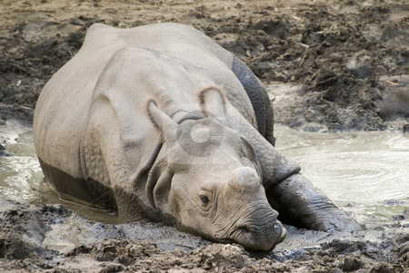 Indian Rhinoceros stock photo, Indian Rhinoceros (rhinoceros unicornis) lying in mud hole by Stephen Meese