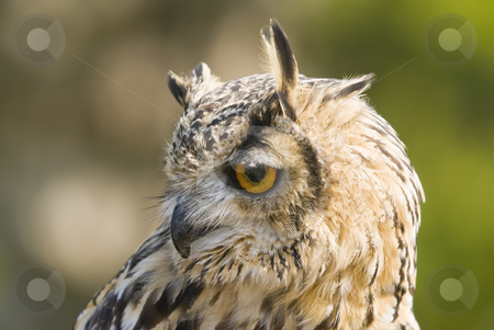 Bengal Eagle Owl stock photo, Closeup of Bengal Eagle Owl (Bubo Bubo Bengalensis) by Stephen Meese