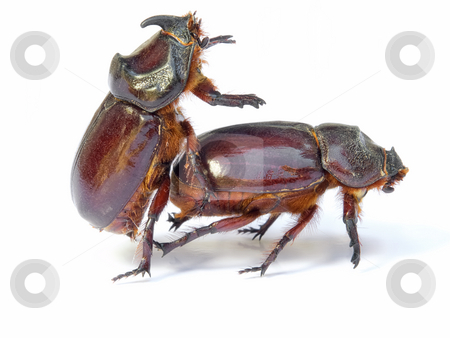 Bugs sex stock photo, Sex in the world of bugs and insect. Isolated on a white background. by Sinisa Botas