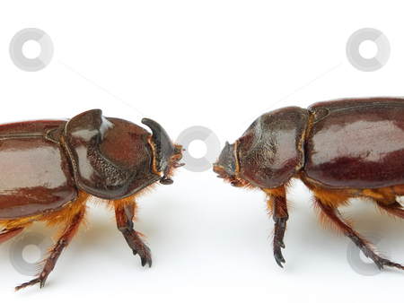 Clash of titans 2 stock photo, Titans clash in the world of insects and bugs. Isolated on a white background. by Sinisa Botas