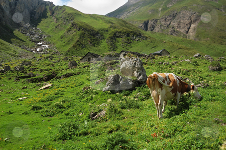 Alpine pasture stock photo, Solitary cow in an alpine pasture (Alpe Bettelmat, Italy) by ALESSANDRO TERMIGNONE