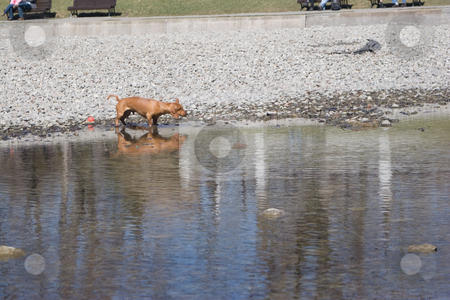 Little dog in pond stock photo, Little brown dog shaking his long ears at the edge of a pond by Yann Poirier