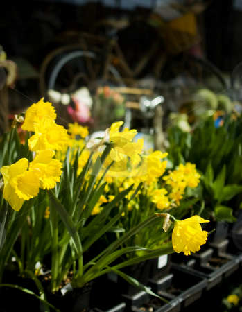 Spring Daffodils Blooming at Gardening Shop stock photo, Spring Daffodils and Flowers at Garden Shop. Nice storefront gift and garden shop with nostalgic look. Good for themes of spring, seasons, gardening, home improvement, shopping, gifts. by Jeff DeMent