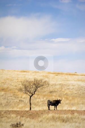 Cattle Grazing on Prairie Spring Grass stock photo, Cattle Grazing on Ranch Spring Grass. Single Longhorn standing under barren solitary shade tree by Jeff DeMent