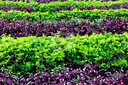 Green bushes stock photo, Green and purple bushes in a row by Dmitry Rostovtsev