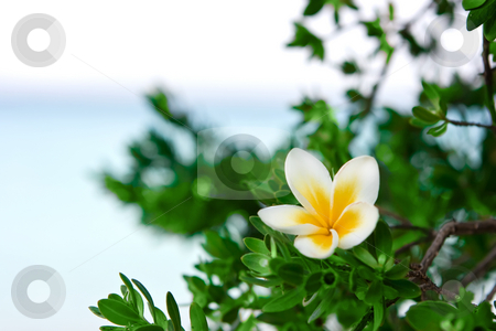 Flower on the beach stock photo, Temple tree flower on the summer beach by Dmitry Rostovtsev