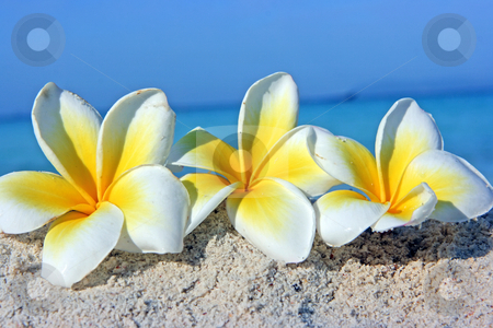 Flowers on the beach stock photo, White tropical flowers lying on the sandy beach by Dmitry Rostovtsev