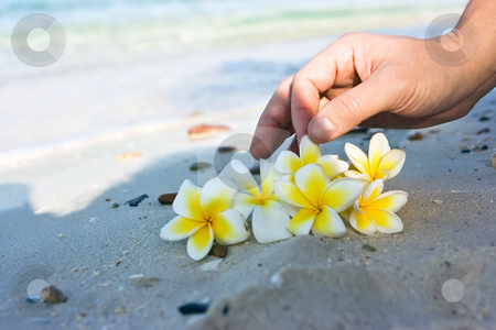 Flowers on the beach stock photo, Temple tree flowers lying on the beach by Dmitry Rostovtsev