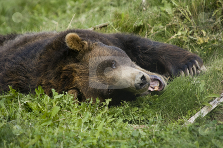 Brown Bear stock photo, Wild Brown Bear (Ursus americanus horribilis) in Banff National Park Canada by Stephen Meese