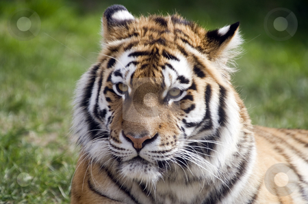 Amur Tiger stock photo, Amur Tiger (Panthera tigris altaica) looking at viewer - landscape orientation by Stephen Meese