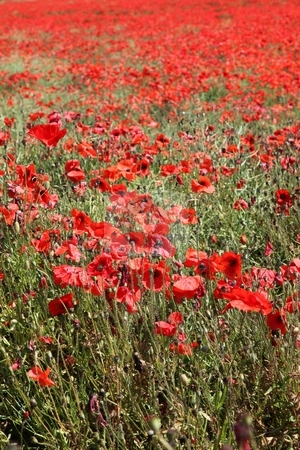 Red Poppies. stock photo, Red poppies growing in a field in Norfolk, England. by Ian Langley