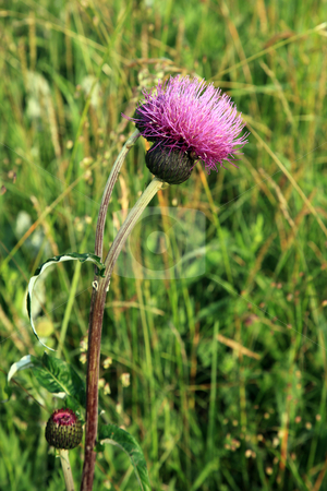 Great knapweed, (Centaurea scabiosa),  stock photo, Great knapweed, (Centaurea scabiosa), in wood in England. by Ian Langley