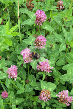 Red clover (Trifolium prstense). stock photo, Red clover (Trifolium prstense), in wood in England. by Ian Langley