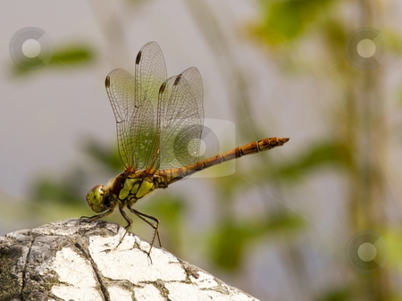 Dragonfly sympetrum striolatum stock photo, A newly emerged dragonfly sympetrum striolatum in summer by Mike Smith