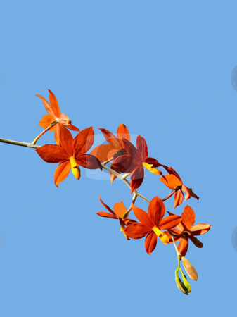 Species orchid encyclia vitellina stock photo, A species orchid encyclia vitellina against a blue sky by Mike Smith