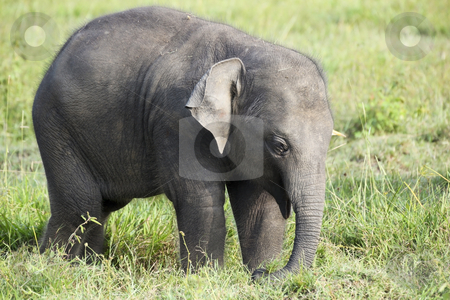 Baby elephant in sri lanka stock photo, A baby elephant in wasgomuwa national park sri lanka by Mike Smith