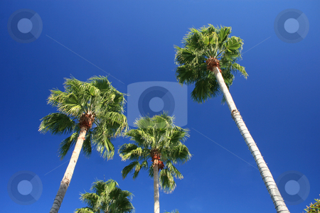 Palm Trees stock photo, Palm Trees in Florida with Bright Blue Sky by Lucy Clark