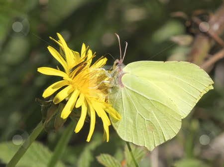 Brimstone butterfly on dandelion flower stock photo, Brimstone butterfly gonepteryx rhamni on a dandelion flower in spring by Mike Smith