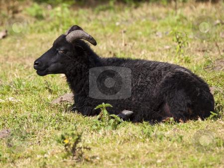 Hebridean sheep stock photo, A hebridean sheep in grass near trees by Mike Smith