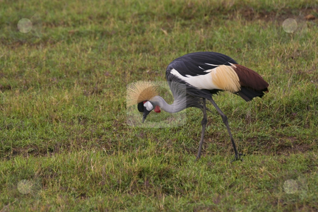 Crowned crane in kenya stock photo, A crowned crane in amboseli national park kenya by Mike Smith