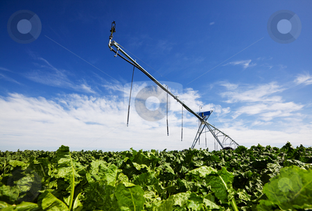 Irrigating turnips stock photo, Modern irrigation tool in a turnip field low view angle by Steve Mcsweeny