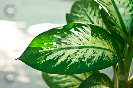 Palm stock photo, Dieffenbachia green plant on day white background by Dmitry Rostovtsev