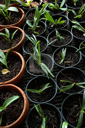 Orchid seed stock photo, Orchid seed that growth well in small pot by Bayu Harsa