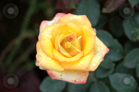 Rose stock photo, Macro of a yellow rose with dew by Bayu Harsa
