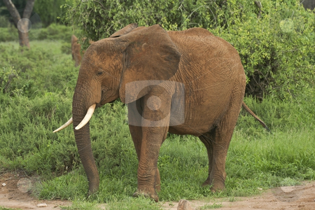 Kenyan elephant stock photo, A lone kenyan elephant covered in red tsavo dust by Mike Smith