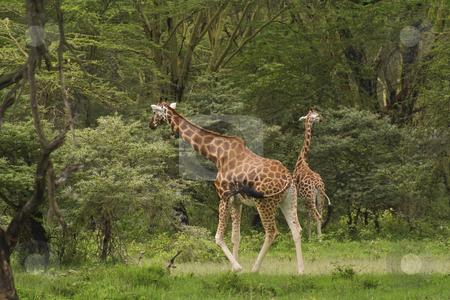 Rothchilds giraffe in kenya 2 stock photo, A pair of rothchilds giraffe in kenya by Mike Smith