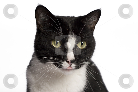 Black and white cat stock photo, Close up portrait of a black and white cat by Yann Poirier