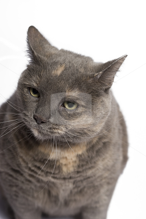 Angry cat stock photo, Gray and beige cat with angry expression by Yann Poirier