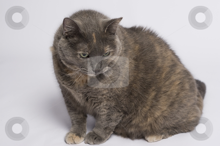 Grey cat stock photo, Gray and beige cat with angry expression by Yann Poirier