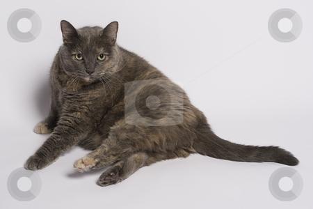 Awaken cat stock photo, Gray and beige cat that just woke up by Yann Poirier