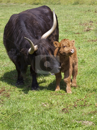 Highland calf and mother stock photo, Highland calf with milky face with mother in a summer meadow by Mike Smith